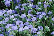 Blue Phacelia (Phacelia distans) desert wildflower blooming in the Anza Borrego Desert, California, USA