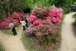 © Licensed to London News Pictures. 28/05/2021. IVER, UK.  People walk amongst the rhododendrons and azalea, currently in bloom, in the Temple Gardens at Langley Park in Iver, Buckinghamshire ahead of the Bank Holiday weekend, when temperatures are expected to rise above 20C.  Langley Park is a former royal hunting ground with links back to King Henry VIII, Queen Elizabeth I and Queen Victoria. Photo credit: Stephen Chung/LNP