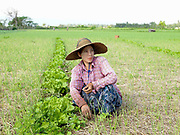 A Pa-O ethnic minority woman weeds garlic by hand in the vegetable gardens surrounding their village in Kayah State on 18th November 2016