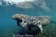 Florida manatee, Trichechus manatus latirostris, and calf, Crystal River National Wildlife Refuge, Crystal River, Florida, USA