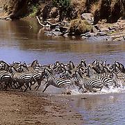 Burchell's Zebra, (Equus burchelli) Spooked herd running from Mara River.Masai Mara Game Reserve. Africa.