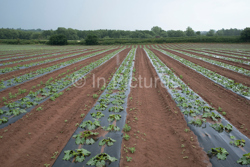 Landscape view across agricultural fields of courgettes planter in lines and rows under plastic to prevent pests on 17th June 2020 in Hartlebury, United Kingdom. The zucchini or courgette is a summer squash, of Mesoamerican origin, which can reach nearly 1 metre in length, but is usually harvested when still immature at about 15 to 25 cm. A zucchini is a thin-skinned cultivar of what in Britain and Ireland is referred to as a marrow.