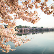 WASHINGTON DC - The flowering of thousands of cherry blossoms around the Tidal Basin in Washington DC is an annual spectacle that dates back over a century and is a highlight of the region's spring tourist season. In the background is the Washington Monument.