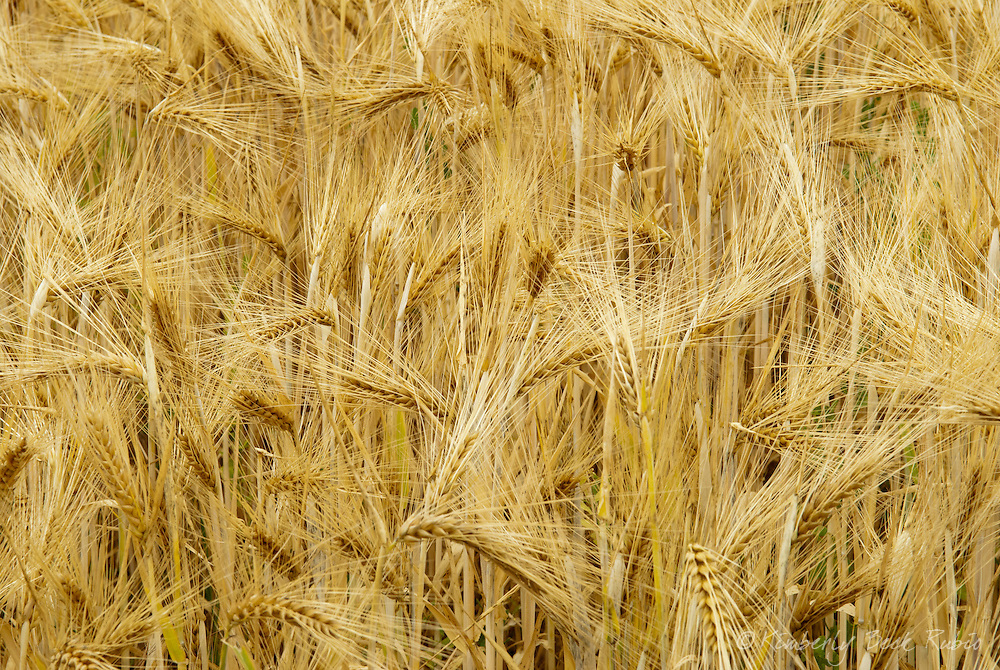 Close up of barley growing in Champagne, France.