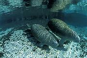 Florida manatee, Trichechus manatus latirostris, and calf, Three Sisters Spring, Crystal River, Florida, USA, North America