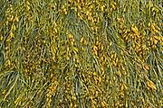 Seaweed (kelp), Cape Hopewell Rocks, New Brunswick, Canada