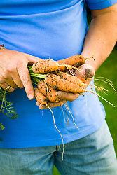 Hand holding harvested carrots