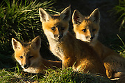 Red Fox Kits in central Montana
