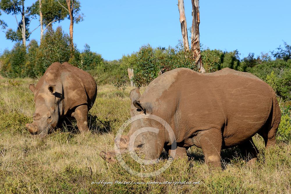 Ceratotherium simum, Breitmaulnashorn, white rhinoceros, Porth Elizabeth, Suedafrika, Porth Elizabeth, Suedafrika, Schotia Safaris Private Game Reserve park