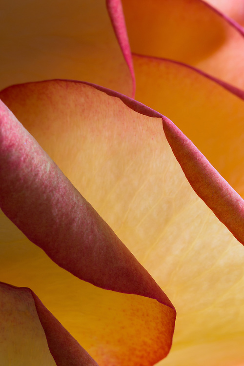 Macro Floral photograph of a rose with an abstract view of layers of petals.