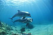 bottlenose dolphins, Tursiops truncatus, Anthony's Key Resort, Roatan, Bay Islands, Honduras ( Caribbean Sea )