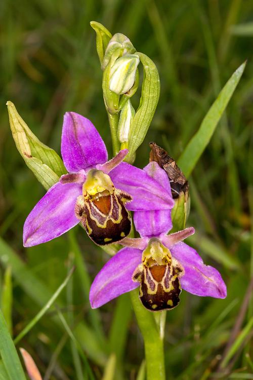 Bee Orchid, Kent, UK