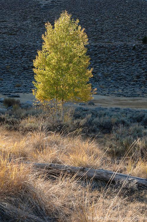 Autumn quaking aspen (Populus tremuloides), Toiyabe National Forest, California