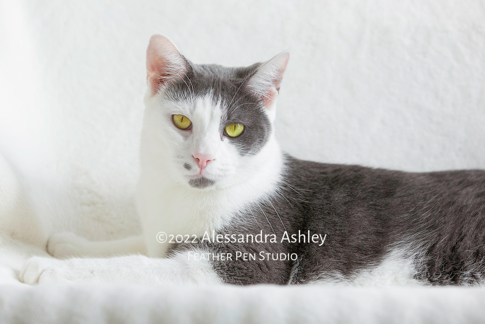 Tall and handsome gray and white male rescue cat relaxing on white blanket.