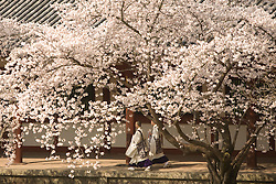 Asia, Japan, Honshu island, Nara, monks walk under blooming cherry trees within the Todaiji Temple complex, a U.N. World Heritage Site