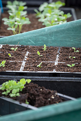 Pricked out foxglove seedlings in a module tray