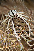 crinoid squat lobster: Allogalathea elegans, frontal view on crinoid feather star, Tulamben, Bali