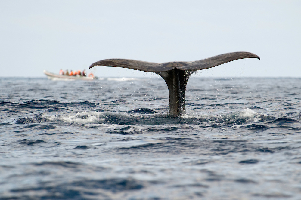 Eco tourism and a sperm whale fluke, Physeter macrocephalus<br /> Pico, Azores, Portugal<br /> Model release by photographer