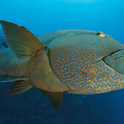 Napoleon wrasses are abundant and friendly in Palau, often approaching divers in the water in an inquisitive manner