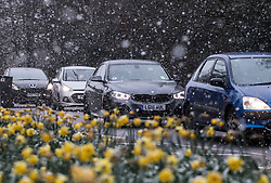 © Licensed to London News Pictures. 26/02/2018. Oxshott, UK. Traffic is seen as snow flurries settle on daffodils as a cold front sweeps in from the east - with heavy snow expected later in the week in parts of the UK. Photo credit: Peter Macdiarmid/LNP