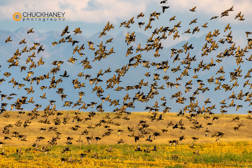 Huge flock of European Starlings take flight in the Flathead Valley, Montana, USA