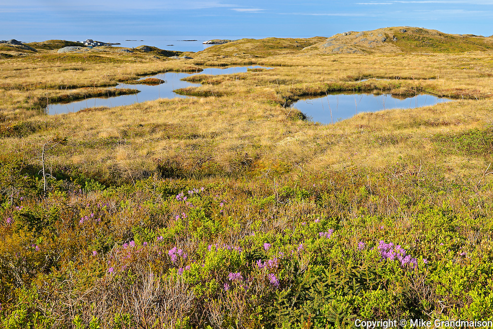 Laurel along  the shoreline of the Cabot Strait<br />Iles aux Morts<br />Newfoundland & Labrador<br />Canada