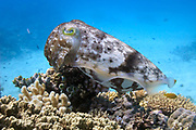 Reef or broadclub cuttlefish (sepia latimanus)  on coral reef  - Agincourt reef, Great Barrier reef, Queensland, Australia. <br /> <br /> Editions:- Open Edition Print / Stock Image