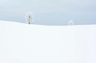 Tief verschneite Linden (Tilia sp.) in der Drumlinlandschaft bei Menzingen bei diffuser Bewölkung, Kanton Zug, Schweiz<br /> <br /> Deeply snow-covered linden trees (Tilia sp.) In the Drumlin landscape near Menzingen with diffuse clouds, Canton Zug, Switzerland