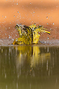 Yellow warbler bathing in pond