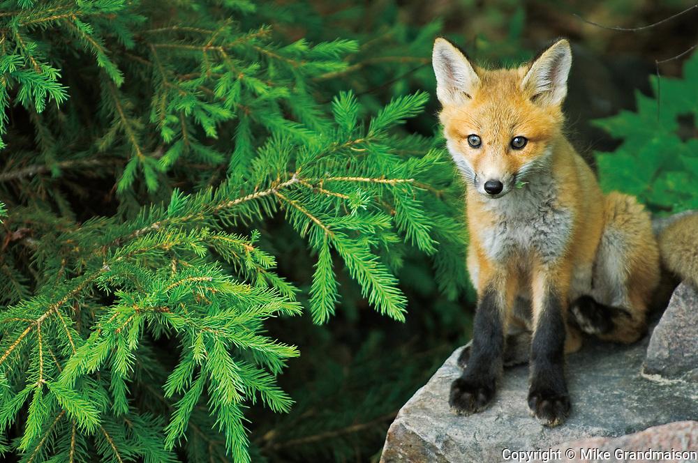 Red fox (Vulpes vulpes)  pup near den<br />Killarney Provincial Park <br />Ontario<br />Canada
