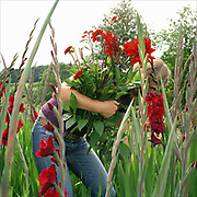 Jo Campbell gardener picking dahlias and gladioli at an Estate in Felixkirk, North Yorkshire, UK. Jo grows flowers and creates bouquets to sell locally.