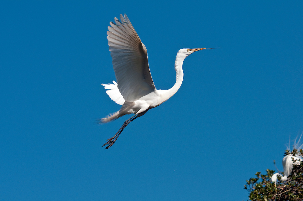 Great white egret in flight with stick to build a nest during breeding season.