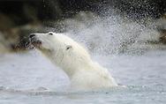 Polar Bear, Ursus maritimus, in the water, Svalbard, Norway