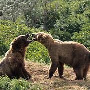Alaskan Brown Bear, (Ursus middendorffi) male approaches female to mate. Alaska Peninsula.