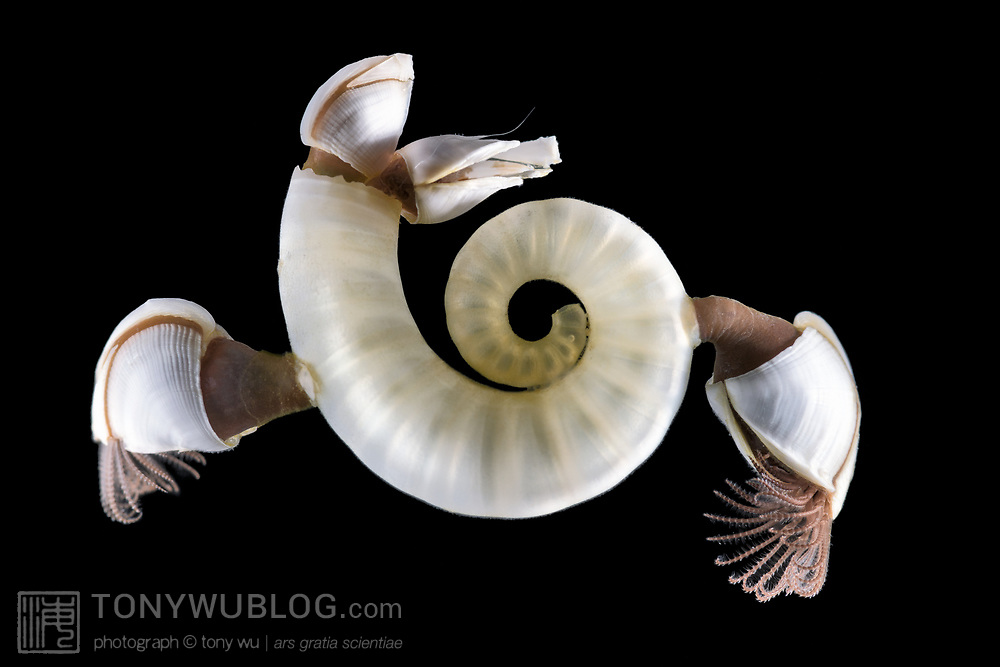 This is the internal shell of a deep-water cephalopod called a Ram's horn squid, also known as a little post horn squid (Spirula spirula). This cephalopod is the only known member of its genus. The internal shell is both robust and buoyant, so often found on beaches. This one washed up during a mass stranding of thousands of Physalia utriculus amd other animals of the open-ocean, pelagic community. Attached to the shell were pelagic goose barnacles (Lepas sp.).