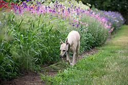 Whippet in the garden