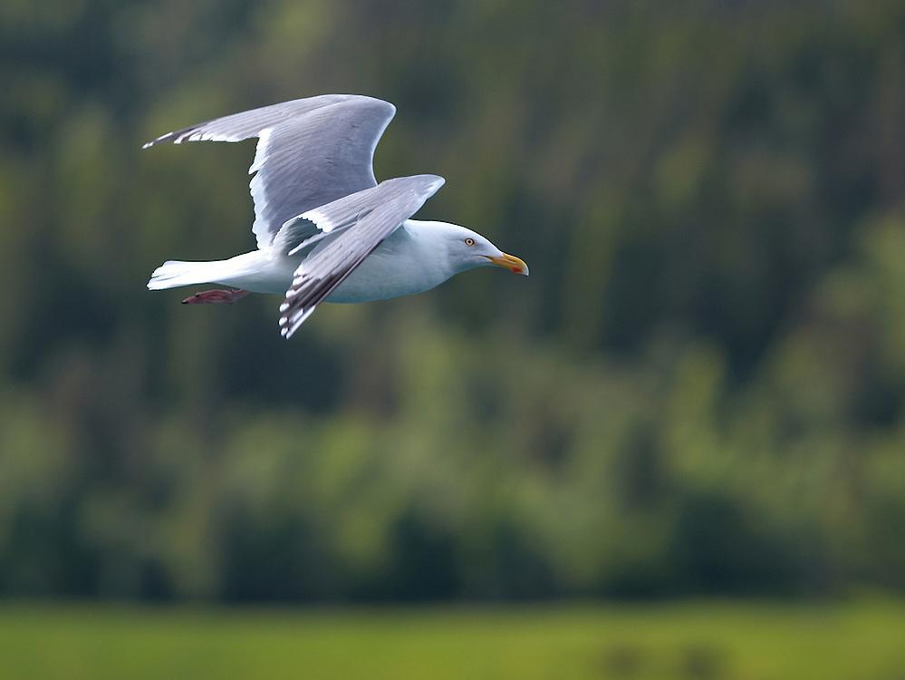 Norway - Seagull in flight