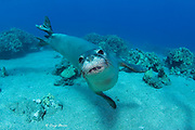 Hawaiian monk seal ( Neomonachus schauinslandi ) yearling female ( critically endangered species ) with flipper tag swims around coral reef at Mahukona, Kohala, Hawaii Island ( the Big Island ) Hawaiian Islands ( Central Pacific Ocean )