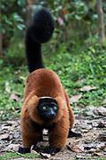 Red-ruffed lemur (Varecia rubra)<br /> East Madagascar<br /> Mantadia National Park<br /> MADAGASCAR<br /> ENDEMIC<br /> Critically endangered