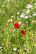 Ox-eye daisy, Leucanthemum vulgare, poppies and other wildflowers in an English garden, UK