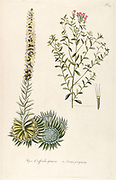 Hand painted botanical study of Crassula spinosa and Stevia purpurea flower anatomy from Fragmenta Botanica by Nikolaus Joseph Freiherr von Jacquin or Baron Nikolaus von Jacquin (printed in Vienna in 1809)