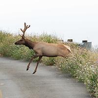 Tule elk jump across a road at Point Reyes National Seashore, California.
