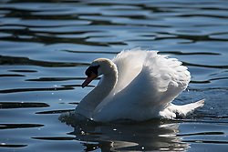 © Licensed to London News Pictures. 13/06/2021. London, UK. A swan sits on the water on the Serpentine Lake in Hyde Park central London on a hot summer's day. Temperatures in the capital are expected to reach a high for the year. Photo credit: Ben Cawthra/LNP