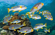A collection of Diagonal Sweetlips hovering over a coral head on the Great Barrier Reef.