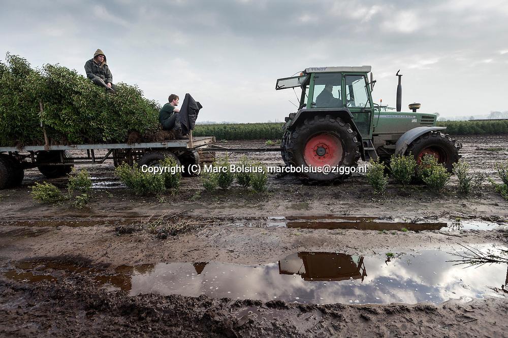 Nederland, Haaren, medewerkers van plantenkwekerij Joost Sterke rooien prunussen in de modder . Telefoonnummer 04111 62154. op de foto links Maarten van Dam,Chris Klomp en Paul Goyaerts