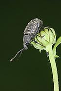 Vine Weevil - Otiorhynchus sulcatus