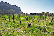 The Cassis cliff and vineyards on the slope The vineyard below the Cassis cliff in spring, vines winter pruned in Gobelet training, Marsanne grape variety Cassis Cote d'Azur Bouches du Rhone France