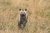 Spotted Hyena, Crocuta crocuta, in Serengeti National Park, Tanzania