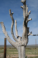 Dead tree in Arizona