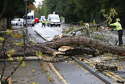 © Licensed to London News Pictures. 02/10/2020. London, UK. A fallen tree blocks traffic on Kingston Hill in south west London in wet and windy conditions. The south is due to feel the effects of Storm Alex over the next few days with 90mph winds and heavy rain forecast. Photo credit: Peter Macdiarmid/LNP